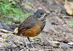 Moustached Antpitta, Paz de las Aves, Ecuador (5746102084).jpgEl tororoí bigotudo3 (en Colombia) (Grallaria alleni), también denominado chululú bigotudo,4 es una especie de ave paseriforme perteneciente al numeroso género Grallaria de la familia Grallariidae, anteriormente incluido en Formicariidae.5 6 Es nativo de los Andes de Colombia y Ecuador.