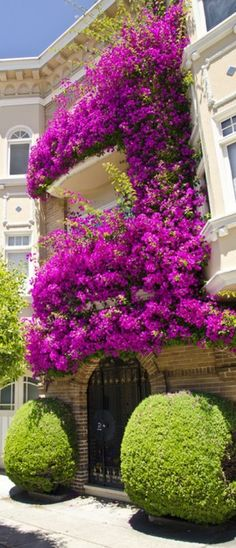 Bougainvillea San Francisco beauty photo: Gerry Greer Beautiful floral display on the front of one of the many Victorian style apartments and houses on the streets of San Francisco. Bougainvillea, Beautiful Gardens, Beautiful Flowers, Beautiful Places, Beautiful Gorgeous, Beauty Photos, Outdoor Gardens, Indoor Gardening, Scenery