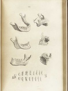 Mandible and teeth, from William Cheselden's Osteographia, NLM Call no.: WZ 260 C499o 1733.