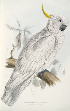 Lear, Edward, 1812-1888 / Illustrations of the family of Psittacidae, or parrots: the greater part of them species hitherto unfigured, containing forty-two lithographic plates, drawn from life, and on stone  (1832)