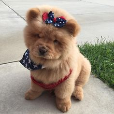 Murica #murica #4thofjuly #4th #4thofjulyweekend #chow #patriotic #patrioticpup #chowchow #chowch - chow_quinnstagram