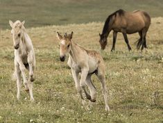 Pryor Mountains, Montana, wild horses, dun filly and palomino colt play Andalusian Horse, Friesian Horse, Palomino, Arabian Horses, Black Horses, Wild Horses, All The Pretty Horses, Beautiful Horses, Cute Baby Horses