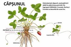 Don& Make These 3 Common Mistakes When Growing Strawberries! Whole Lifestyle Nutrition is part of Strawberry plants Growing Strawberries and Avoiding Common Mistakes!