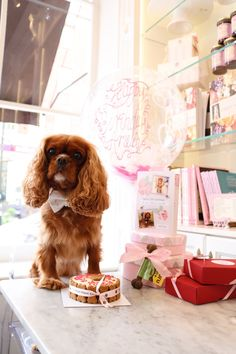 cavalier king charles spaniel at peggy porschen bakery with happy birthday balloon presents and dog cake