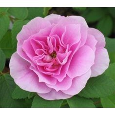 Top Quality Roses Therese Bugnet Over 270 Varieties of Roses