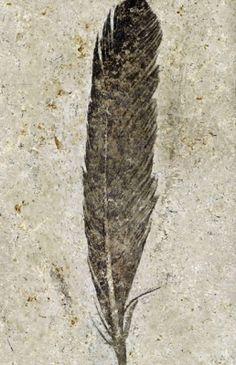 "fossil feather from the dinosaur-era ""first bird"" archaeopteryx"