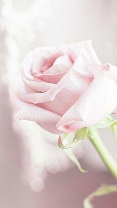 14 Romantic Rose Photos