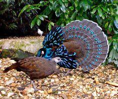 Palawan Peacock Pheasant | Flickr - Photo Sharing!