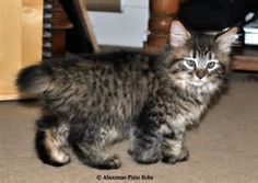 Pixie-Bob Cat Personality - Bing Images