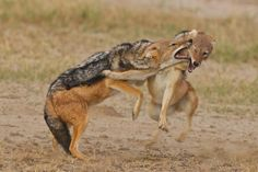 Thrilling wildlife sightings to inspire a trip in 2019 - Wild Card Black Backed Jackal, Wild Park, In 2019, Wildlife Photography, Kangaroo, Deer, African, Warm Blooded, Coyotes