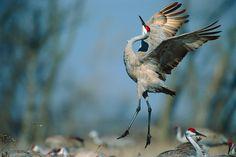 Joy - Sandhill Cranes, Platte River valley, Nebraska
