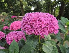 forever and ever pink hydrangea - Google Search
