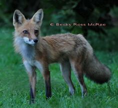 Red Fox by Becky Ross McRae