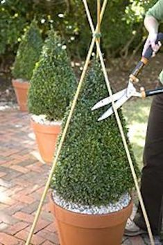 How to shape and trim boxwoods | Visit the post to see how to incorporate potted boxwood into your landscaping #Flowers
