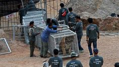 Forty dead tiger cubs have been found in a freezer at a Thai Buddhist temple accused of wildlife trafficking and animal abuse.  Police and wildlife officials started an operation on Monday to remove all the living tigers at the Tiger Temple.  Pictures from journalists at the scene posted to social media showed the 40 cubs lined up on the floor.  The site in Kanchanaburi is a popular tourist attraction but has been closed to the public since the raid.