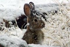 What animals do you see in winter? Children can explore the Ipswich River Wildlife Sanctuary and discover what behaviors help animals and woodland creatures Survive the Winter months on the North Shore of Massachusetts. Beautiful Creatures, Animals Beautiful, Beautiful Babies, Gray Garden, Baby Animals, Cute Animals, Wild Animals, Snow Bunnies, Bunny Rabbits