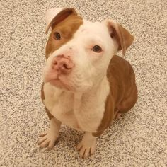 Pit Bull Mix AGE (approx.): 8 Months SEX: Female PET ID: 150317 WEIGHT: 36 lbs - See more at: http://foothillsanimalshelter.org/found-pet/?id=150317#sthash.fWl2bNLm.dpuf