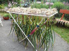 Премудрости выращивания чеснока