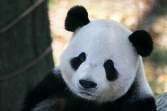 PANDA PANDA PANDA. smilealliebear
