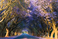 Purple Trees Tunnel SCH MAG r
