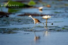 Jao Camp - The largest concentrations of endangered Wattled Crane are found in this area and Slaty Egrets, Rosy-throated Longclaws and African Skimmer are some of the specials that can be seen.