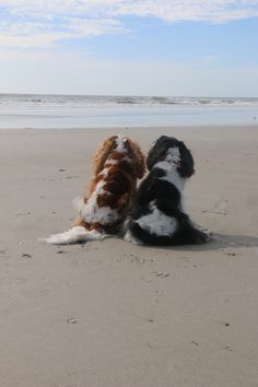 Charlie Brown and Sam enjoying the beach King Charles Puppy, Cavalier King Charles Dog, King Charles Spaniel, Cute Puppies, Cute Dogs, Game Mode, Cavalier King Spaniel, Spaniel Puppies, Dressage
