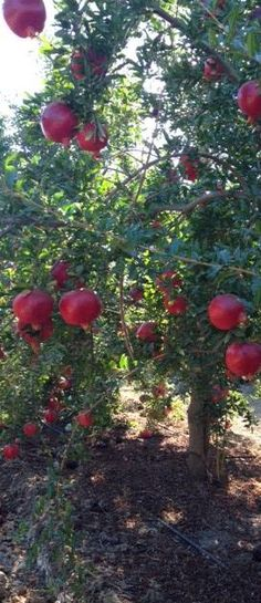 We obtain our pomegranates from only the most effective growing regions!
