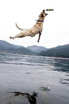 Heidi, a yellow Labrador retriever owned by an Oakridge, Ore., teen, is an award-winning jumper.