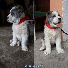 ARKO 2 MONTHS FROM GREECE Alabai Dog, Bullies, 2 Months, Akita, Shepherd Dog, Big Dogs, Animals And Pets, Dog Lovers, Greece