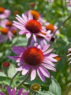 An upright, vigorous, easy-to-grow plant, the cone flower bears large, solitary, daisy-like flowers on thick, hairy stems during summer. The ray florets are light purple and slightly reflexed back, revealing the central orange-brown, cone-shaped center. This fully hardy plant prefers well-drained soil and full sun. H: 3 feet; S: 3 feet