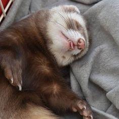 Ferret, Instagram, Ferrets, European Polecat