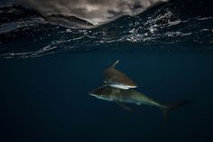 A Parallel Universe: My Half-Underwater Pics Show What Hides Beneath The Waves Under The Water, Underwater Images, Underwater World, Alien Creatures, Sea Creatures, Underwater Photography, Animal Photography, Silky Shark, Water Shoot