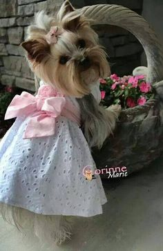 This yorkie is too cute Yorkies, Yorkie Puppy, Chihuahua, Baby Dogs, Pet Dogs, Pets, Teacup Puppies, Cute Puppies, Yorky Terrier