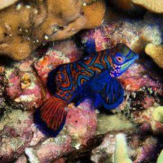 Colorful mandarin fish underwater photo from scuba diver @hammerhai75 on Instagram