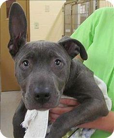 Birmingham AL - American Pit Bull Terrier Mix. Meet Jesse a Puppy for Adoption.