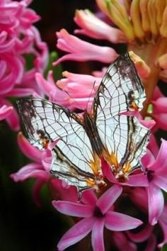 Mapwing Butterfly