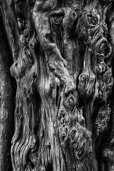 St Olaf's Yew Tree by Edward Forster