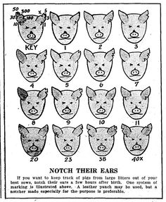 Pig ear notching ear notch diagram 4 h pinterest pig ears notch their ears notching patterns in pig litters 1937 ccuart Gallery