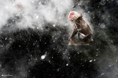 Step backstage into the judging room of the Wildlife Photographer of the Year Competition and discover what the jury look for in a winning image. Image: Snow moment by Jasper Doest. #Wildlife #Photography #Macaque