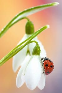 Ladybird on snowdrops by Tomasz Skoczen Beautiful Bugs, Amazing Nature, Simply Beautiful, Beautiful World, Beautiful Pictures, Lily Of The Valley, Macro Photography, Belle Photo, Spring Flowers