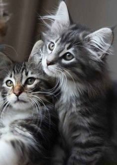 KittenKisses - Click to see loads of great pictures of cats and kittens to brighten your day