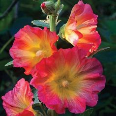 Rare Pink Orange Hollyhock Seeds Perennial Giant Flower Garden Plant Spring Summer Fall Holly Hock Blooms Yard 325 by ToadstoolSeeds on Etsy