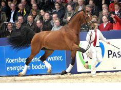 Gelderlander stallion Alexandro P