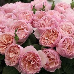 Scented Rose charlene de monaco 50cm is a beautiful Pink garden style rose - wholesaled in Batches of 12 stems. Ideal for floristry work