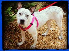 Brookhaven GA: Janey the Smart, High-energy Blue Heedler/Pittie-type needs Home ($$$ also respectfully requested). Lived at Vet's for a Year.