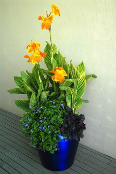 Tropicanna Gold canna with flowers in container garden | Flickr - Photo Sharing!