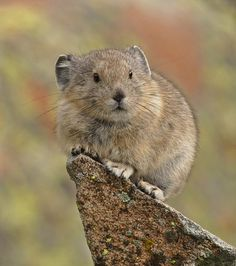 """American pika, known in the 19th century as the """"little chief hare"""", has a small, round, ovate body. Their body length ranges from 6–8 inches. Their hind feet range from 1–1½ inches. They usually weigh about 6 ounces. Body size can vary among populations. In populations with sexual dimorphism, males are slightly larger than females."""