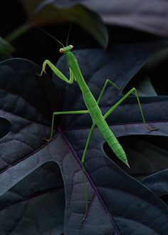 Preying Mantis - Gorgeous Photo!!