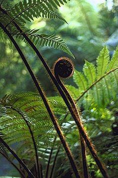 Koru, unfurling fern, Abel Tasman National Park, Aotearoa