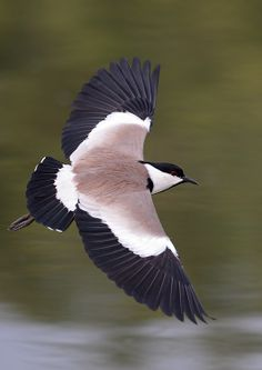 Spur-winged Plover, Vanellus spinosus Birds Egypt